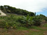 Bananas in Lower Clearing. July 27, 2009
