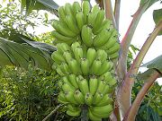 Bananas Continuing to Grow, Sept. 2, 2009