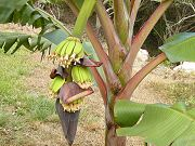 First Bananas in Lower Clearing. July 27, 2009