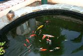 Pond with Flagstone Installed and Partially Stocked with Goldfish and Koi